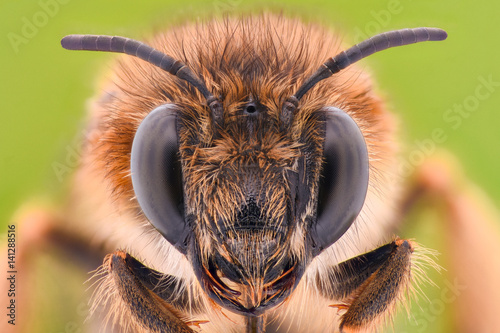Poster Bee Extreme magnification - Honey Bee