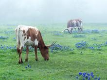Texas Longhorn Cows Graze In A...