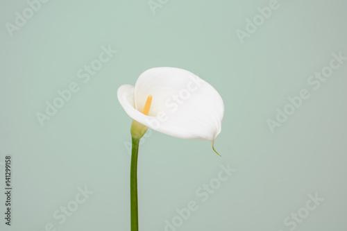 Fotografie, Obraz  elegant full blooming Calla Lily indoor photo