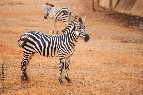 Tuinposter Zebra Burchell's Zebra on red dry soil