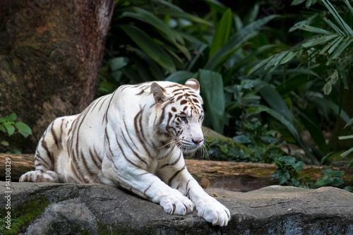 In de dag Tijger weißer Tiger im Zoo