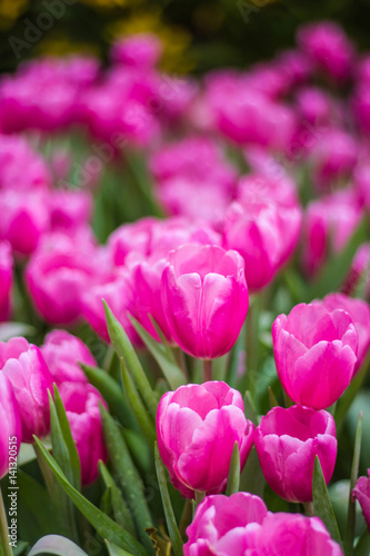 Aluminium Prints Pink all tulips in the garden.
