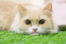Munchkin Cat On Artificial Grass