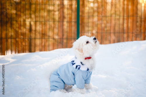 Fotografia, Obraz  Bichon-Frize dog on the street is practicing with the dog sitter in the clothes for dogs, kombenizon, winter sunset aviary
