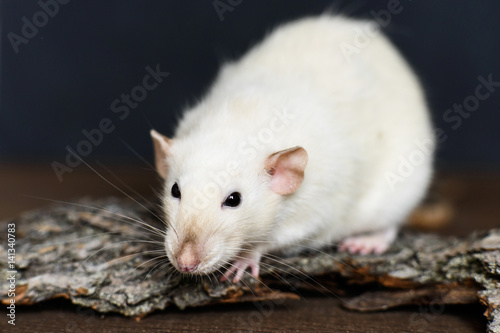 White fancy rat sitting on wood on dark background Poster
