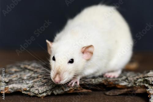 Photo  White fancy rat sitting on wood on dark background
