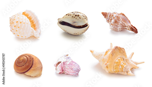 Different sea conch shells in a row.