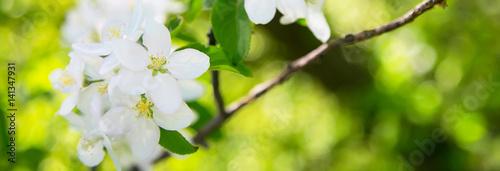 Fototapeta kwiat jabłoni białe kwiaty i zielone liście wiosną transparent tło