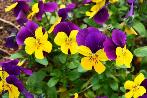 Papiers peints Pansies flowers