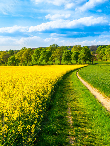 Canvas Prints Culture Field of rapeseed, aka canola or colza. Rural landscape with country road, green alley trees, blue sky and white clouds. Spring and green energy theme, Czech Republic, Europe.