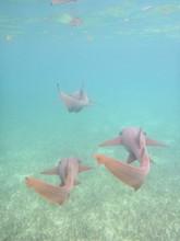3 Nurse Sharks Swimming Away