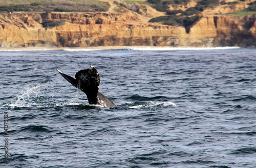 Gray Whale in Pacific Ocean near Sunset Cliffs, San Diego