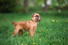 Brussels Griffon Dog Standing ...