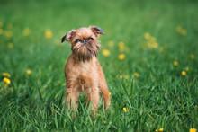 Brussels Griffon Dog  Posing O...
