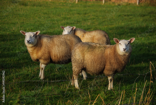 Canvas Prints Sheep Sheep