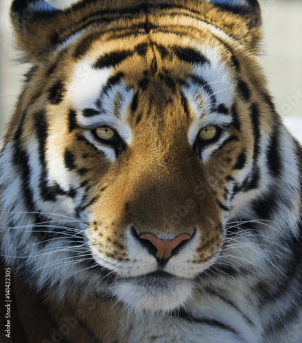 Photo Siberian tiger portrait