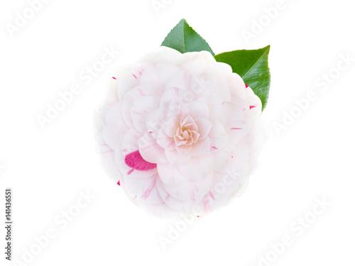 White and pink bicolor camellia flower Fototapeta