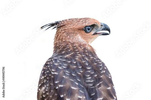 Deurstickers Uilen cartoon Crested Goshawk or Accipiter trivirgatus white tropical asian hawk eagle