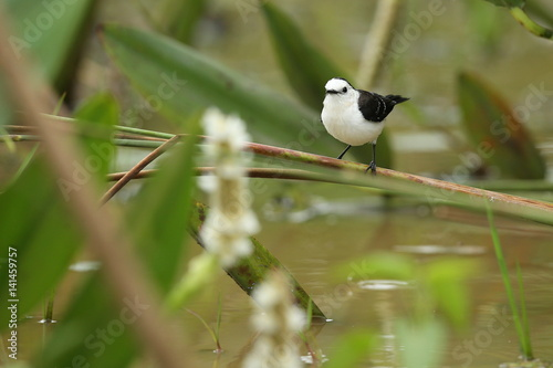 Fotografija  bird of pantanal in the nature habitat, wild brasil, brasilian wildlife, pantana
