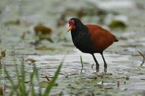 Fotografija  bird of pantanal in the nature habitat, wild brasil, brasilian wildlife, pantana