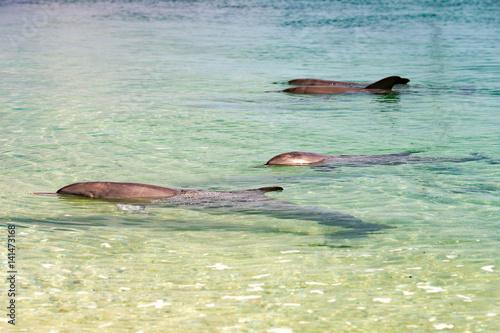 Photo  monkey mia dolphins near the shore
