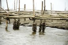 Aquaculture Of Shellfish Oyste...