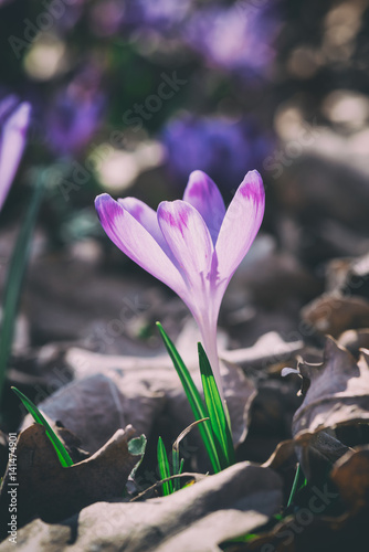 Lonely Beautiful Purple Crocus Or Saffron In A Forest Early Spring