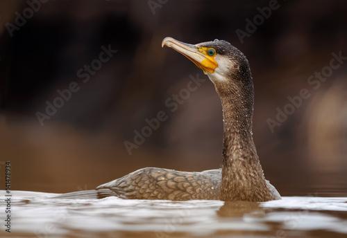 Fotografie, Obraz  Great cormorant swimming in the river