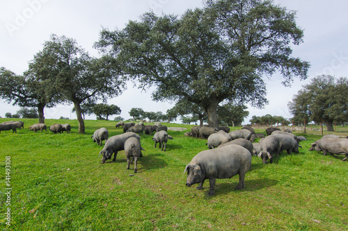 Foto  Iberian pigs in the spanish countryside.
