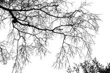 Realistic Birch Tree Branches Silhouette (Vector Illustration).