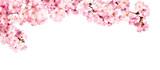 Fototapeta Kwiaty - Rosa Kirschblüten vor weißem Hintergrund