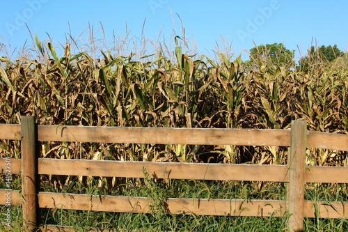 The dried cornstalk in the cornfield. Tapéta, Fotótapéta