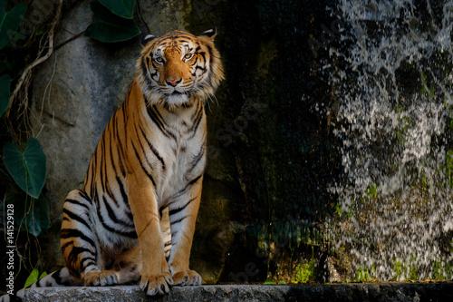 Spoed Foto op Canvas Tijger Tiger looking something.