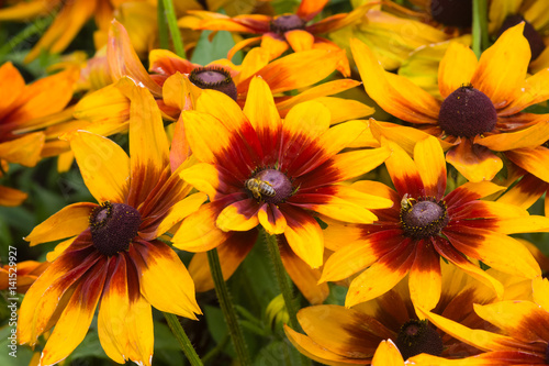 Fotografija  Black Eyed Susan, Rudbeckia hirta, red and yellow flowers close-up, selective fo