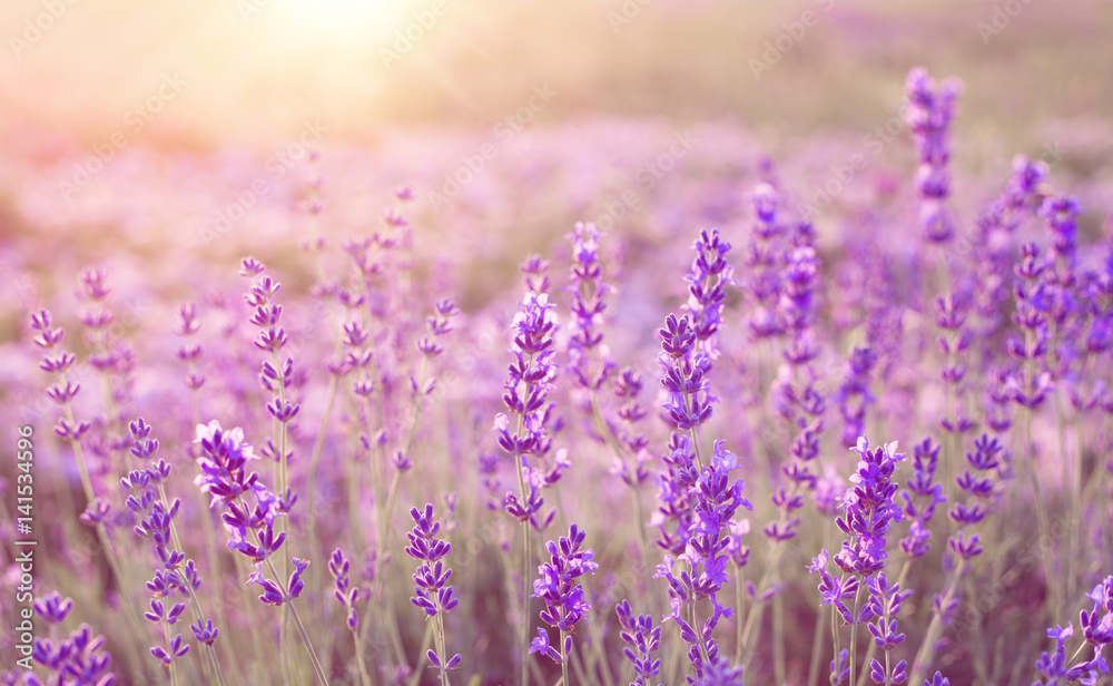 Fototapety, obrazy: Beautiful image of lavender field over summer sunset landscape.