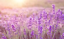 Beautiful Image Of Lavender Fi...