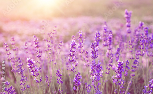 Spoed Foto op Canvas Lavendel Beautiful image of lavender field over summer sunset landscape.