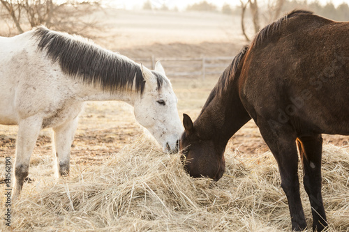 A gray horse and a bay horse, both Thoroughbred OTTB's eating a pile of hay in a monochromatic scene in early morning.