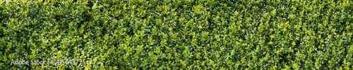 Foto  Green buxux bush hedge
