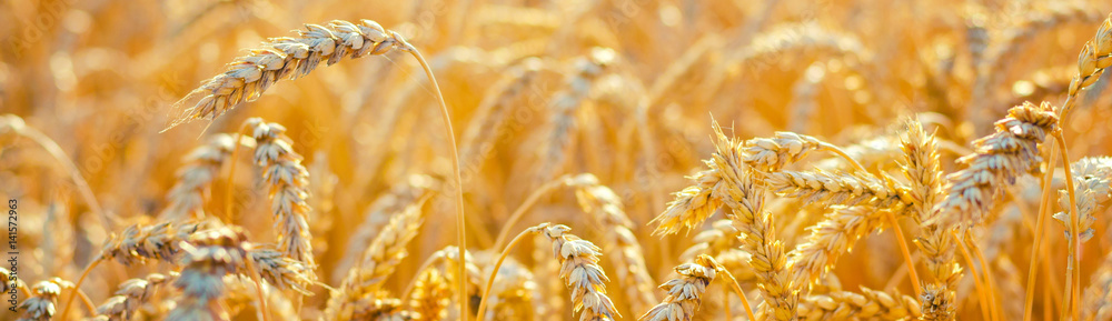 Fototapety, obrazy: Field of ripe wheat before harvest on sunny summer day