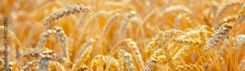 Fotografia  Field of ripe wheat before harvest on sunny summer day