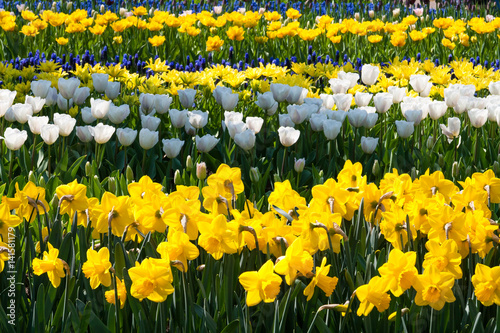 Wall Murals Narcissus The Keukenhof, Dutch Public Spring Flowers Garden, Lisse, Zuid Holland, NLD
