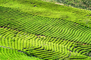FototapetaBeautiful rows of bright green tea bushes. Rural landscape