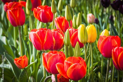 Photo Baselland, Tulpen, Tulpenfeld, rote Tulpe, Tulpenfeld, Blumenfeld, Frühlingsblum