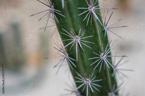 Cactus macro detail of a mexican desert cactus with white thorns