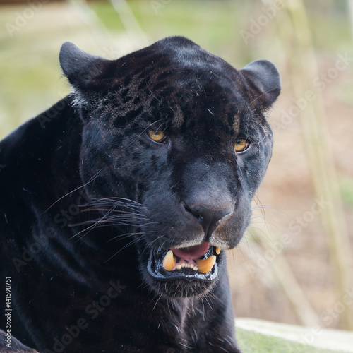 Tuinposter Panter Black leopard, panther, head