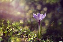 Krokusy, Crocus,flower,kwiaty