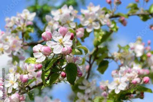 Obrazy kwiat jabłoni   wiosna-418