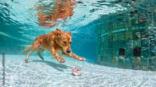 Underwater Funny Photo Of Golden Labrador Retriever Puppy In Swimming Pool Play With Fun