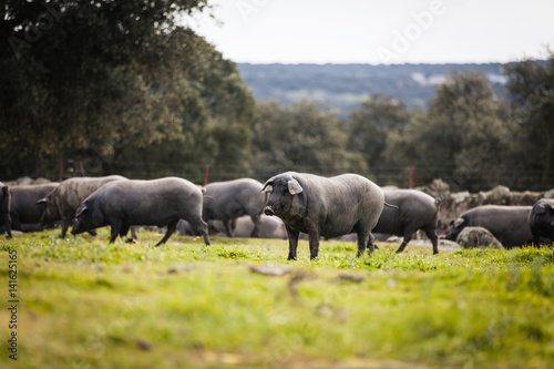 Foto  Iberian pig herd pasturing in a green meadow.
